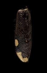 Cicindela-scabrosa-Florida-USA