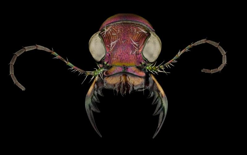 Cicindela-scutellaris-lecontei-Canada-4