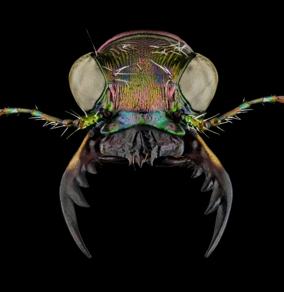 Cicindela-scutellaris-lecontei-Canada-6