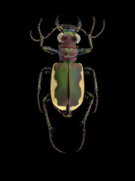 Cicindela-scutellaris-lecontei-Canada