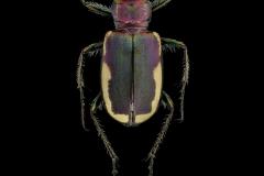 Cicindela-scutellaris-lecontei-Canada-2