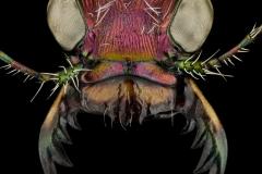 Cicindela-scutellaris-lecontei-Canada-3