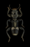 Homalopilo tristis (Klug. 1842)-Madagascar