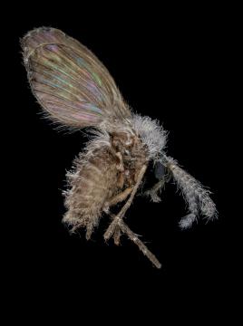 drain-fly-Clogmia-albipunctata-UK