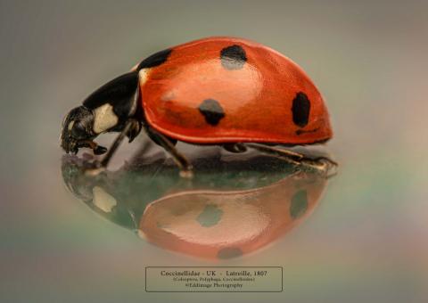 Coccinella septempunctata - UK