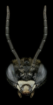 Coelichneumon-deliratorius-Romania