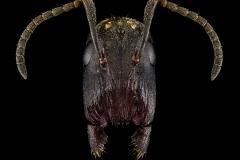 Colobopsis-stricta-Malaysia-2