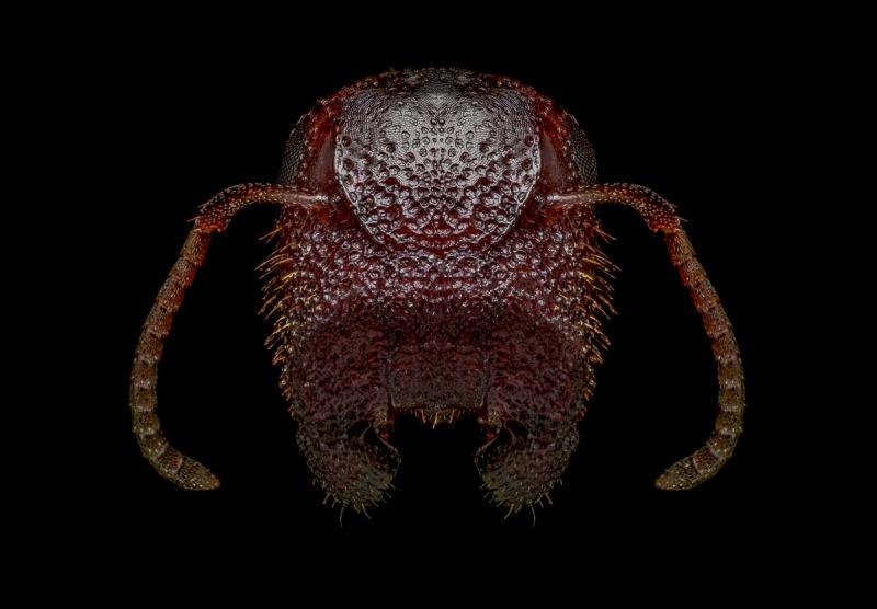Colobopsis-truncata-Greece-3