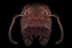 Colobopsis-truncata-Greece