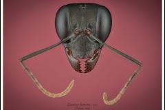 Gigantiops-destructor-Fabricius-1804