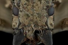 Coptos-liturata-Madagascar-2