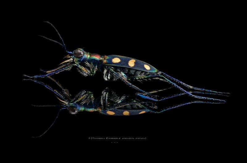 Cicindela (Cosmodela) aurulenta juxtata - Thailand-5