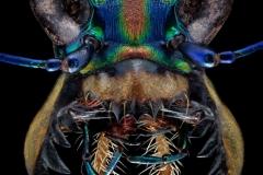 Cicindela (Cosmodela) aurulenta juxtata - Thailand-2