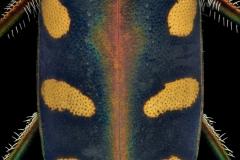 Cicindela (Cosmodela) aurulenta juxtata - Thailand-3