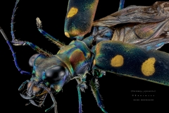tiger beetle [Cicindela Aurulenta juxtata]