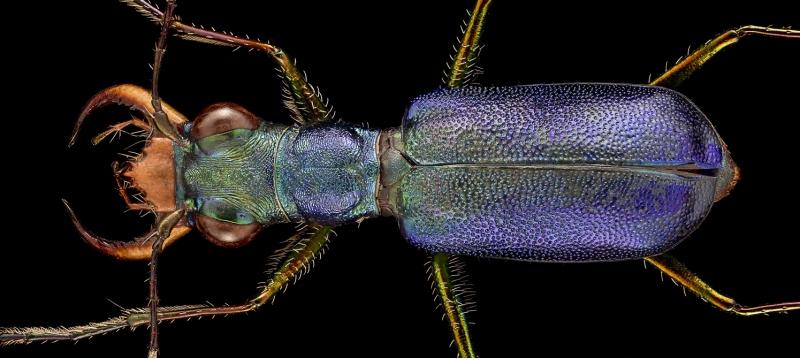 Cratohaerea-chrysopyga-Guinea-Africa-6