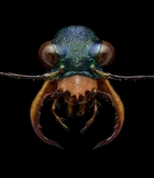Cratohaerea-chrysopyga-Guinea-Africa-7