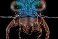 Cratohaerea-chrysopyga-Guinea-Africa-4