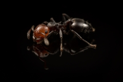 Crematogaster scutellaris - Germany-5