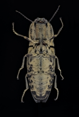 Click beetle [Cryptalaus sordidus] Thailand-2