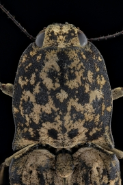 Click beetle [Cryptalaus sordidus] Thailand-4