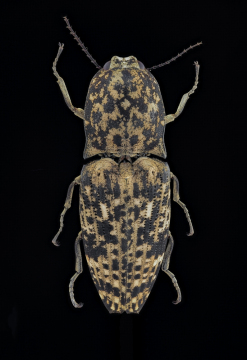 Click beetle [Cryptalaus sordidus] Thailand