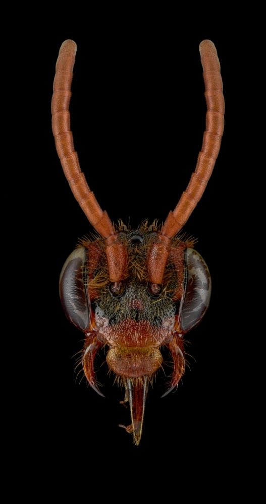 cockoo-bee-Nomada-flava-UK-4