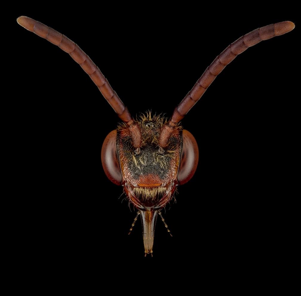 cockoo-bee-Nomada-flava-UK