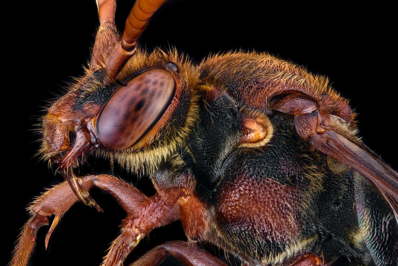 cuckoo bee [Nomada flava]