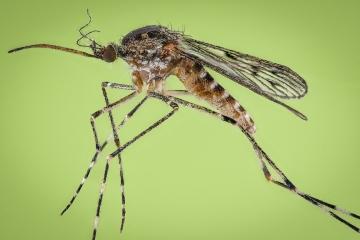 mosquito - [Culiseta annulata]