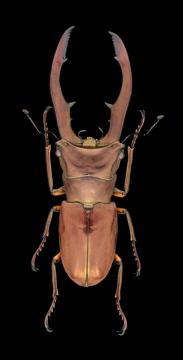 stagbeetle [Cyclommatus metallifer aenomicans] - Indonesia-3