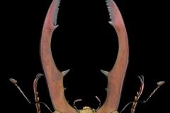 stagbeetle [Cyclommatus metallifer aenomicans] - Indonesia-2
