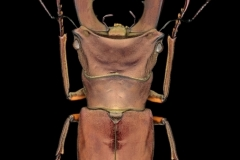 stagbeetle [Cyclommatus metallifer aenomicans] - Indonesia-3