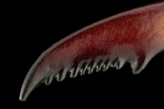 stagbeetle [Cyclommatus metallifer aenomicans] - Indonesia-6
