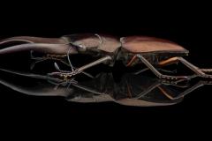 stagbeetle [Cyclommatus metallifer aenomicans] - Indonesia-8