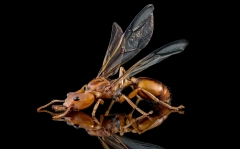 arboreal trap-jawed ant [Daceton armigerum] - Northern South America-4
