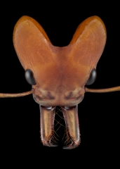 arboreal trap-jawed ant [Daceton armigerum] - Northern South America-7