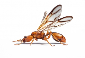 arboreal trap-jawed ant [Daceton armigerum] - Northern South America copy 3