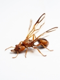 arboreal trap-jawed ant [Daceton armigerum] - Northern South America copy 4