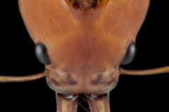 arboreal trap-jawed ant [Daceton armigerum] - Northern South America-2