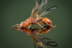 arboreal trap-jawed ant [Daceton armigerum] - Northern South America-6