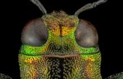 jewel beetle - [Demochroa gratiosa] - Malaysia-2