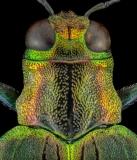 jewel beetle - [Demochroa gratiosa] - Malaysia-3