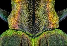 jewel beetle - [Demochroa gratiosa] - Malaysia-4