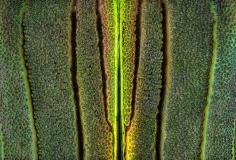 jewel beetle - [Demochroa gratiosa] - Malaysia-5