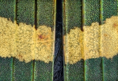 jewel beetle - [Demochroa gratiosa] - Malaysia-6