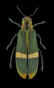 jewel beetle - [Demochroa gratiosa] - Malaysia