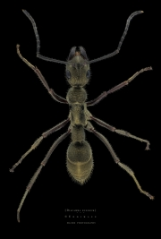 queenless ant - [Diacamma rugosum] - Borneo-2