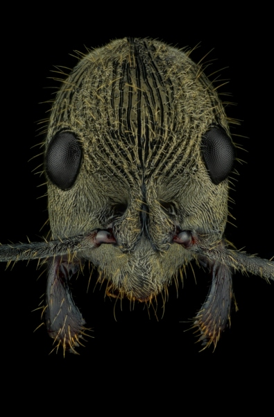 queenless ant - [Diacamma rugosum] - Borneo-3