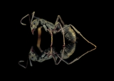 queenless ant - [Diacamma rugosum] - Borneo-4